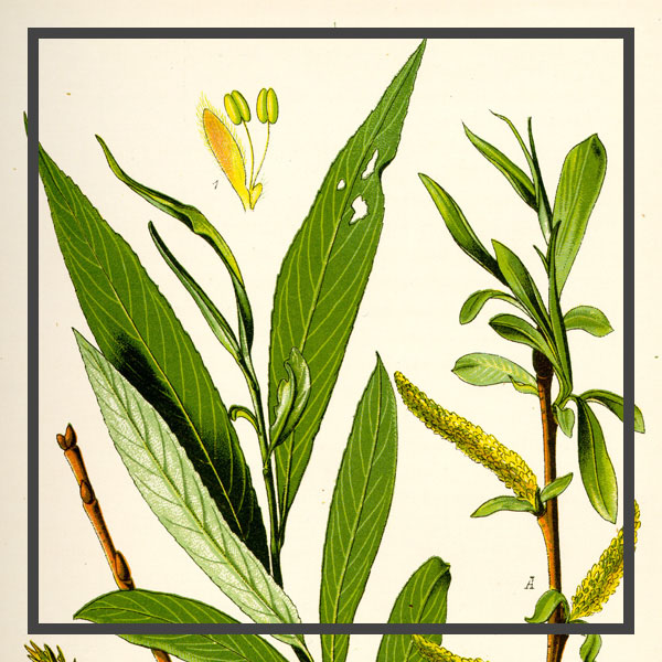 Salix-Alba-Extract---Optimized - border.jpg