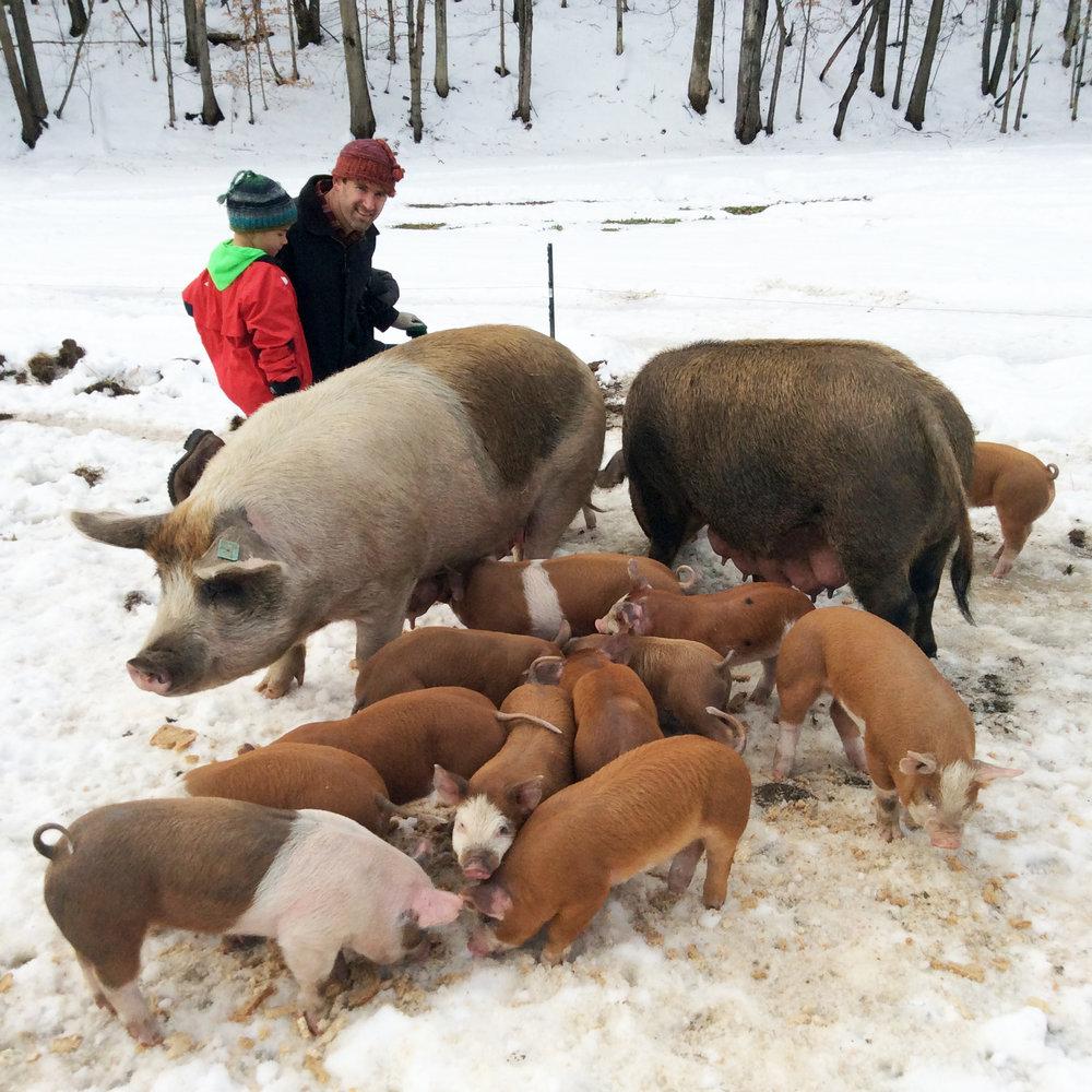 Archway Farm pig cluster.jpg