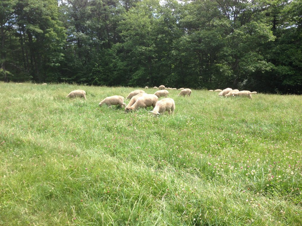 Mayfair Sheep Grazing.JPG