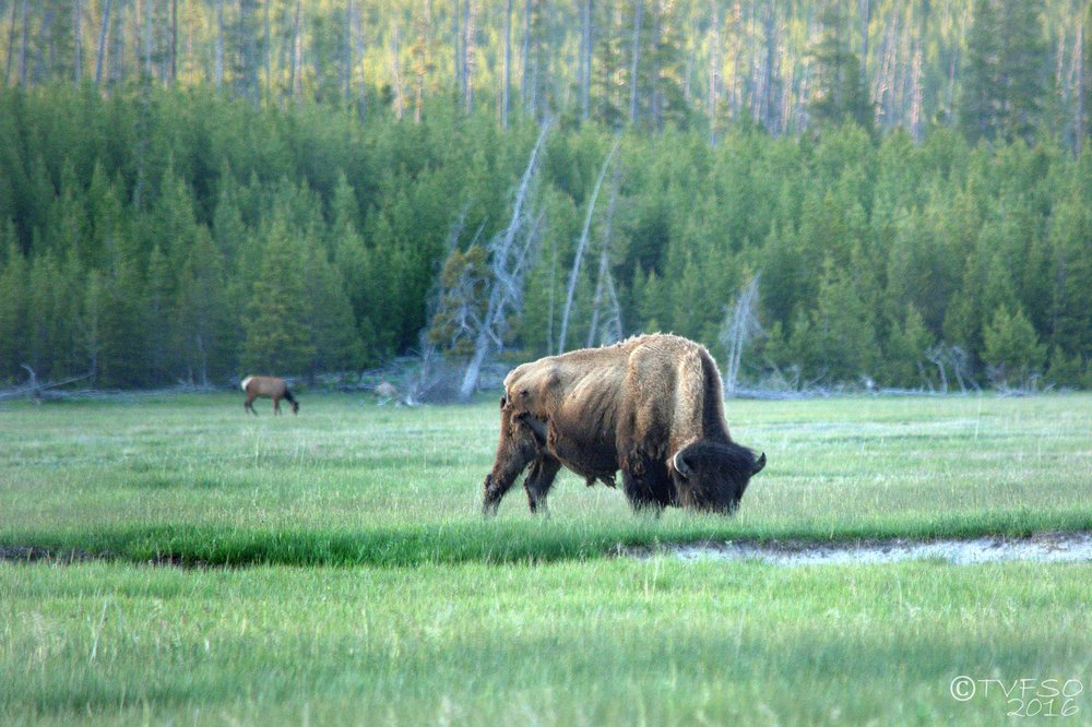 Elk And Buffalo
