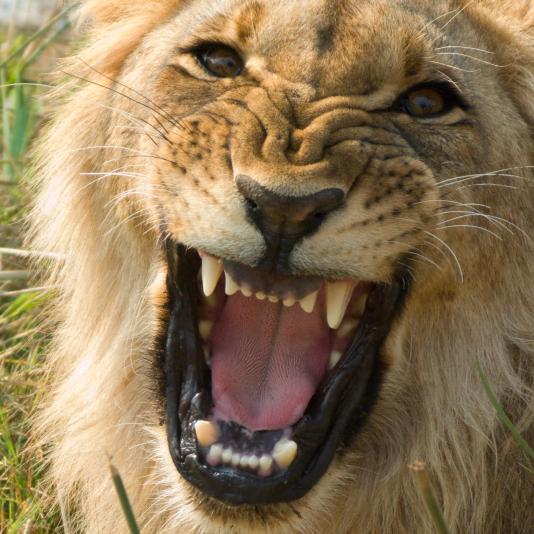 lion roaring.jpg
