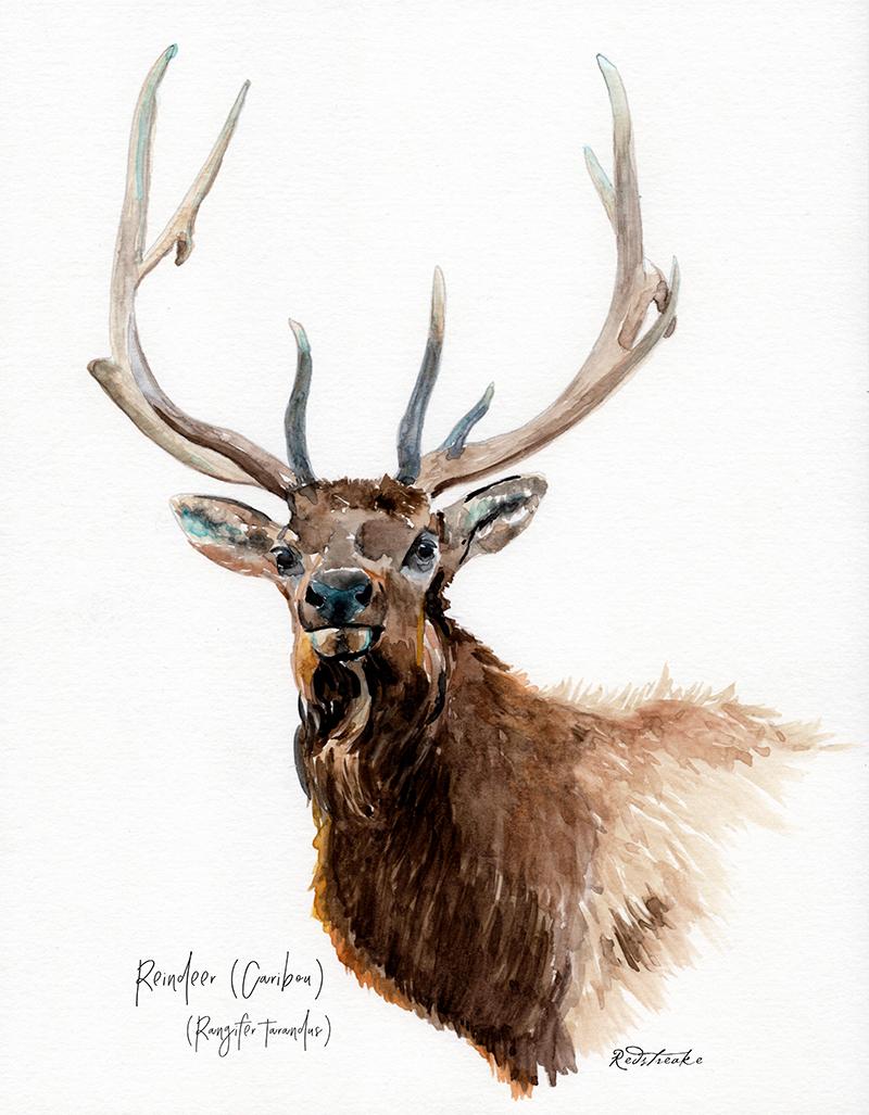 reindeer_portrait.jpg