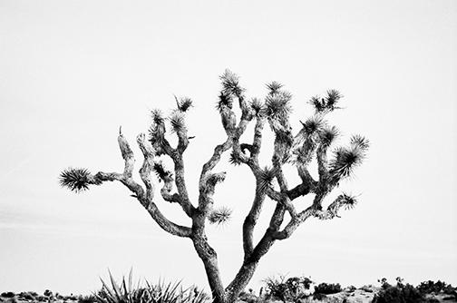 b-joshua-tree.jpg