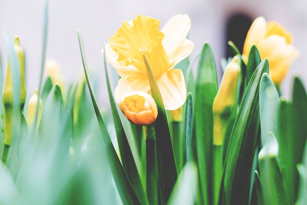 preach counter-cultural lent peter wallace daffodils tim-gouw-239228-unsplash.jpg