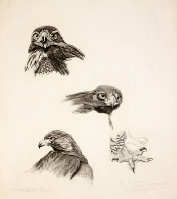 Western Redtailed Hawk study, Pencil