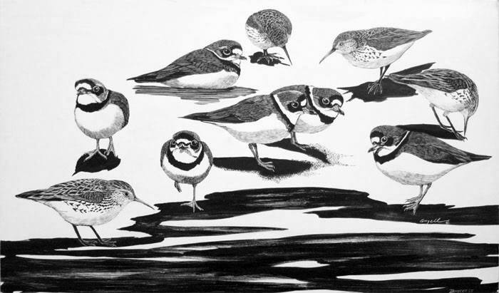Semipalmated Plovers & Western Sandpipers at Dungeness, ink on scratchboard