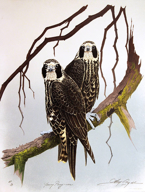 Young Peregrines