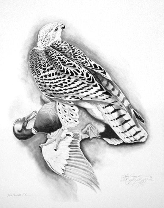 White Phase Gyrfalcon