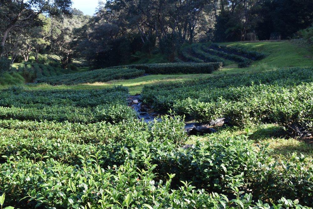 The Tea Fields at Mauna Kea Tea Farm