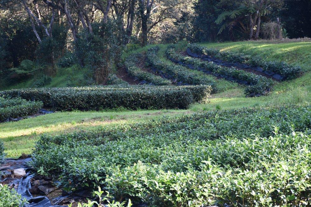 The Tea Fields at Mauna Kea Tea Farms#2