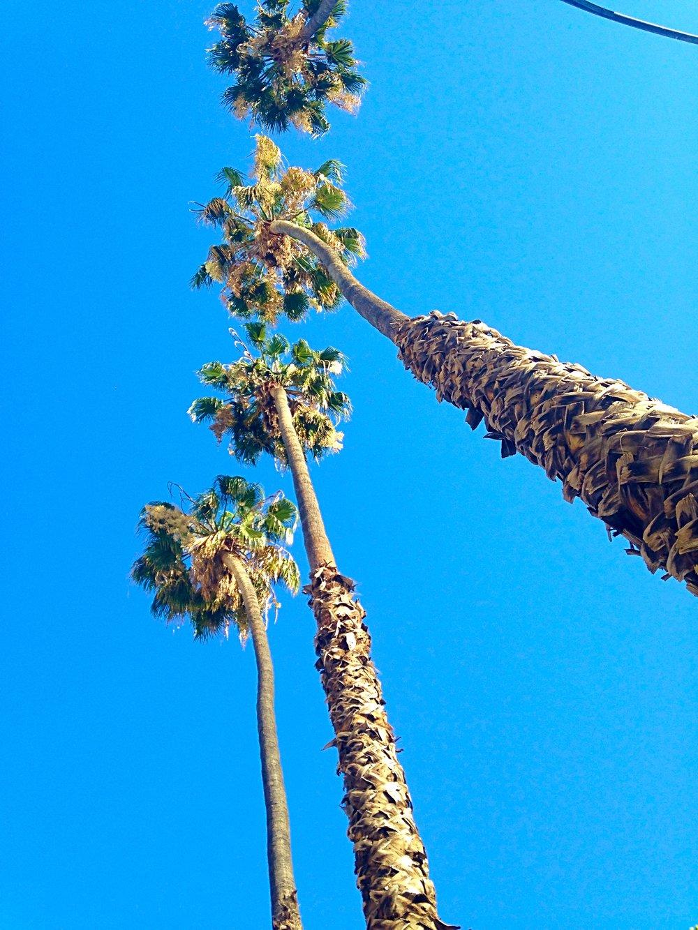 Palm trees in San Jose, CA