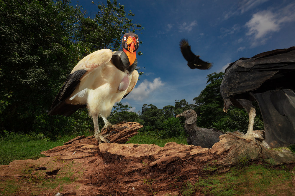 BASCO-king-vulture.jpg