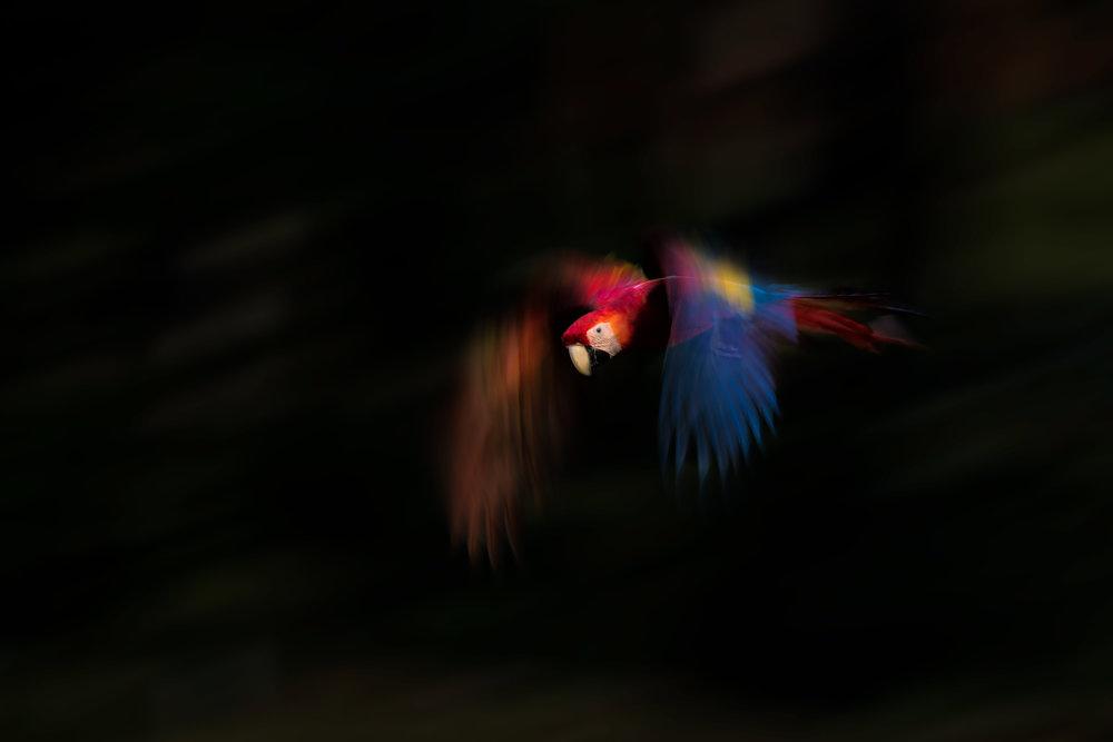 BASCO-flash-macaw-flight.jpg