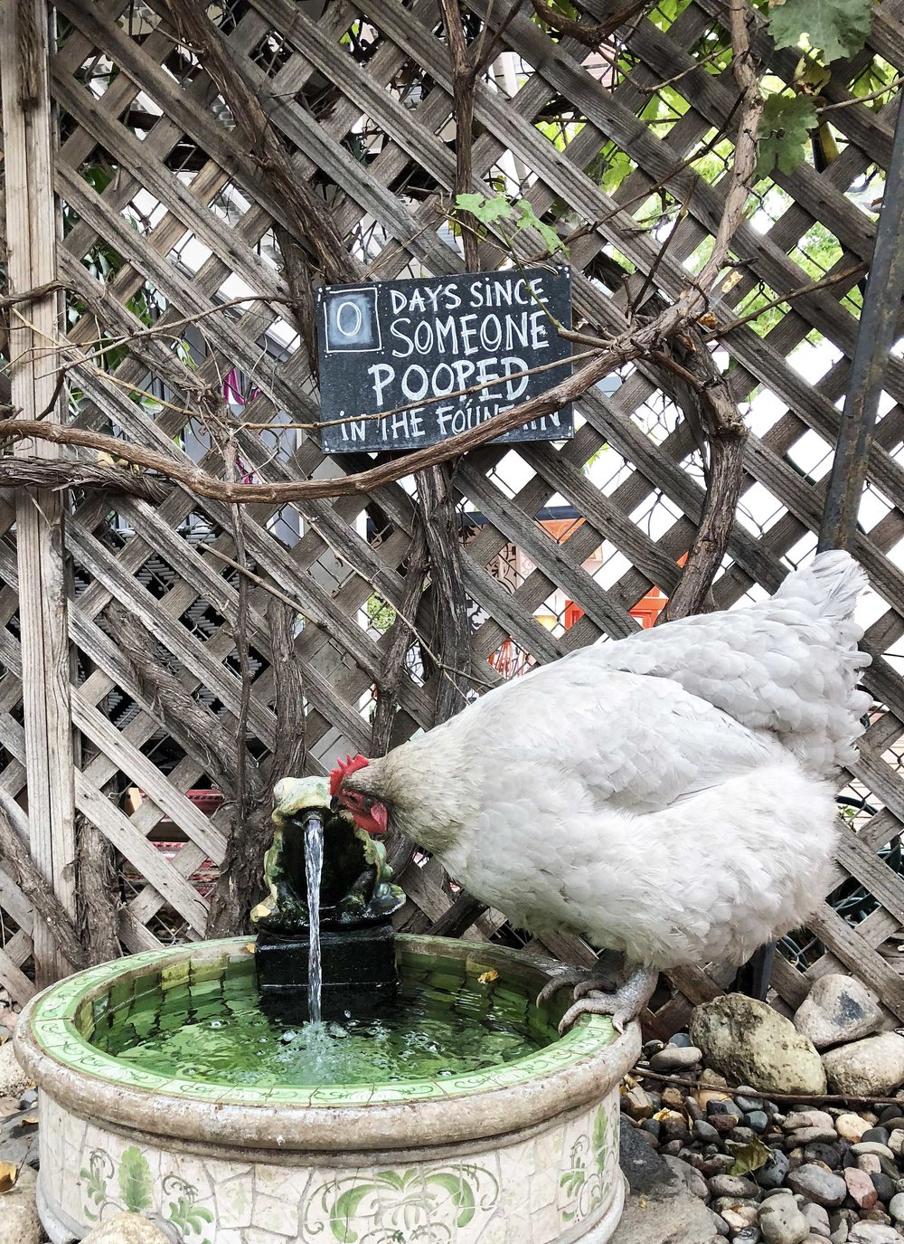 Chickens love froggy fountains.