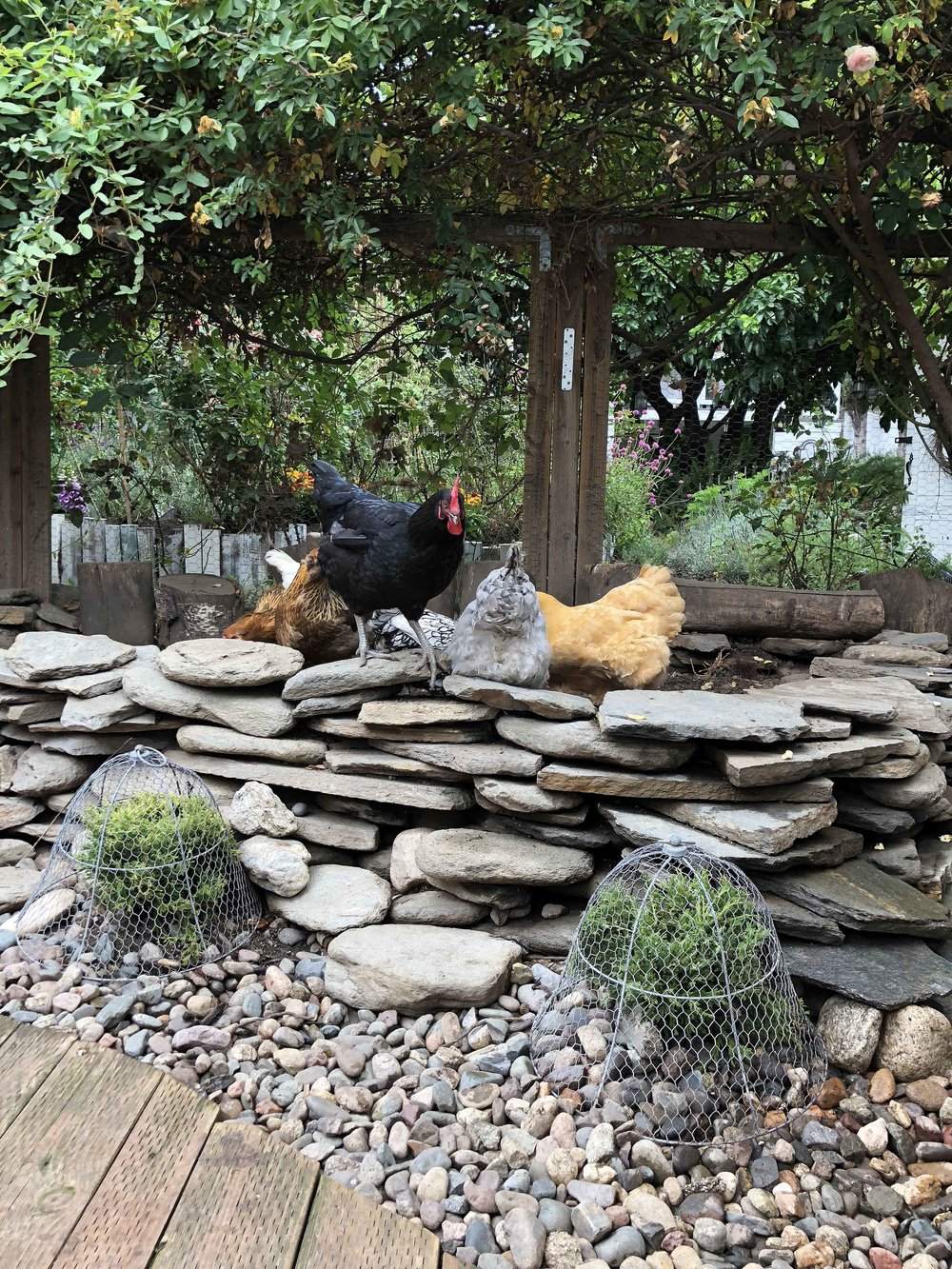 The garden features a raised, dry-stacked stone dirt bath area, mature climbing roses, and newly-planted evergreen landscaping protected for now with my favorite garden cloches from  Gardeners.com.