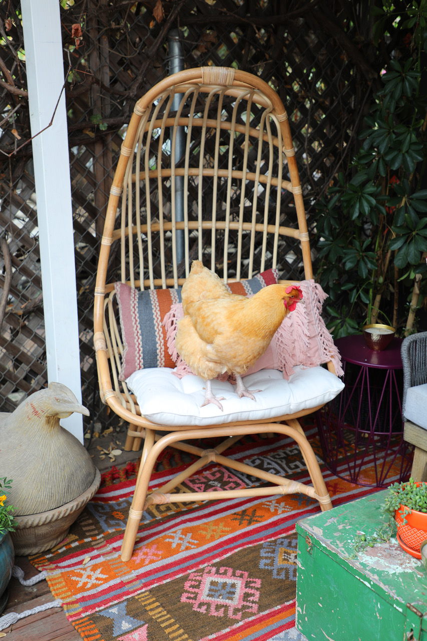 Chicken in a Cocoon Chair.
