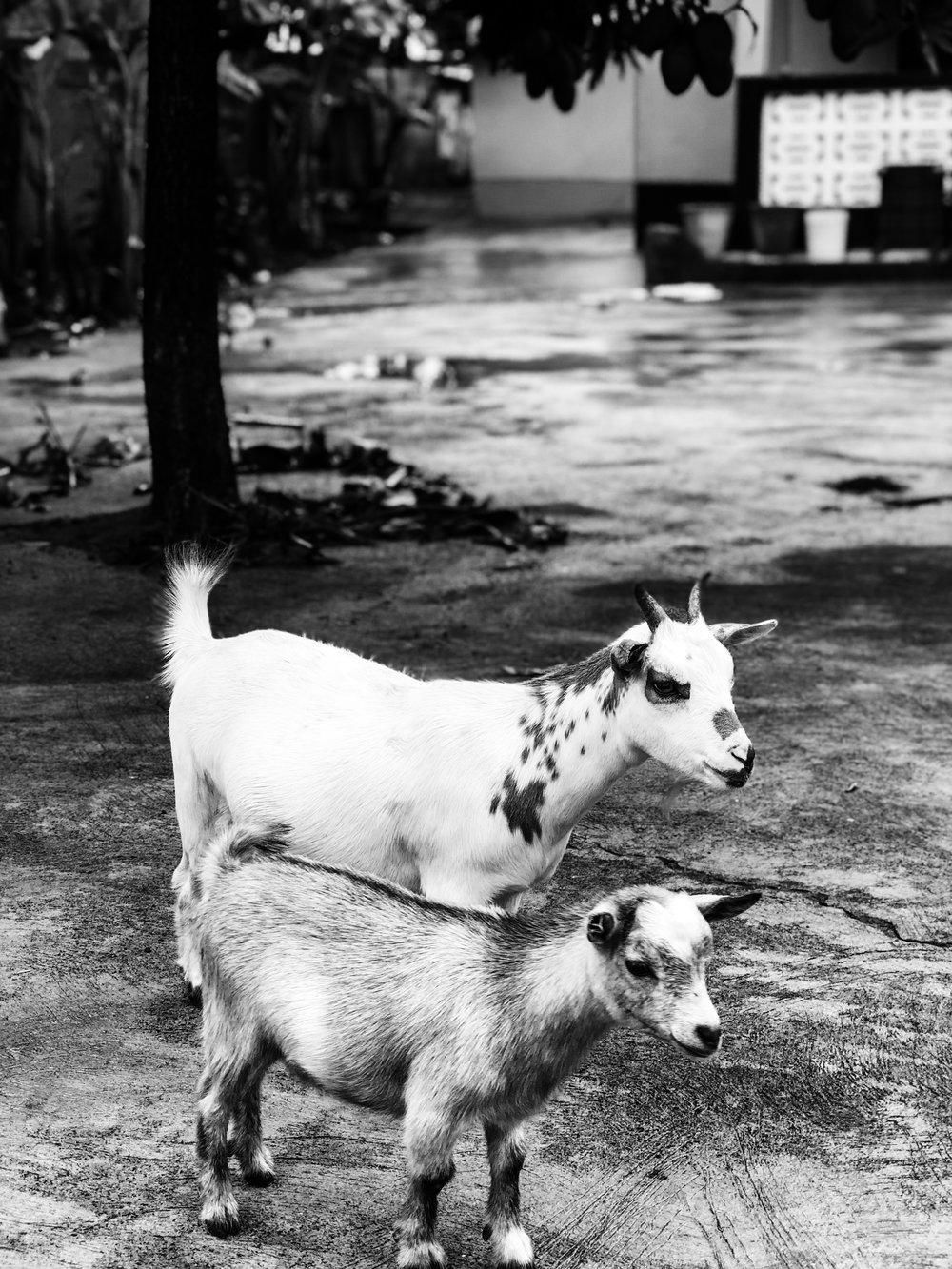 Ghana goats