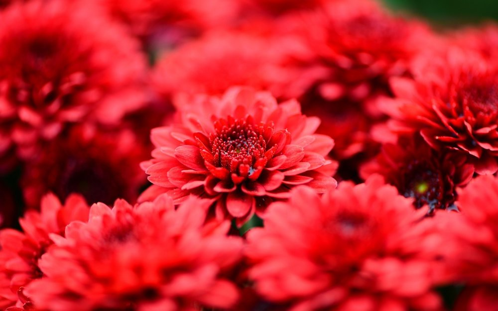 6807778-red-flowers-wallpaper.jpg