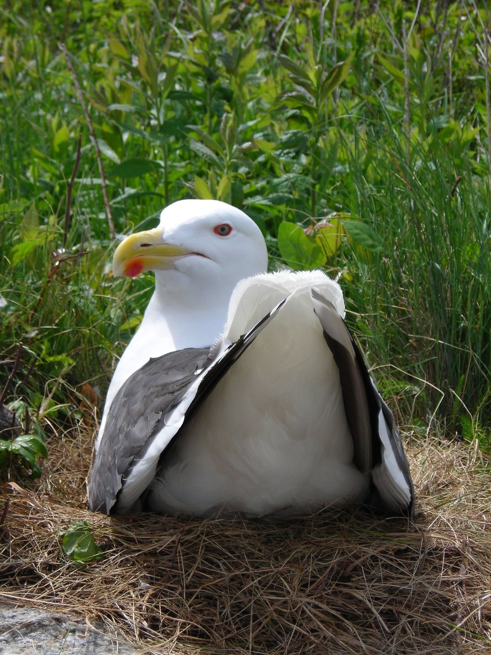 Great Black-backed Gull (SHOALS) on nest.jpg