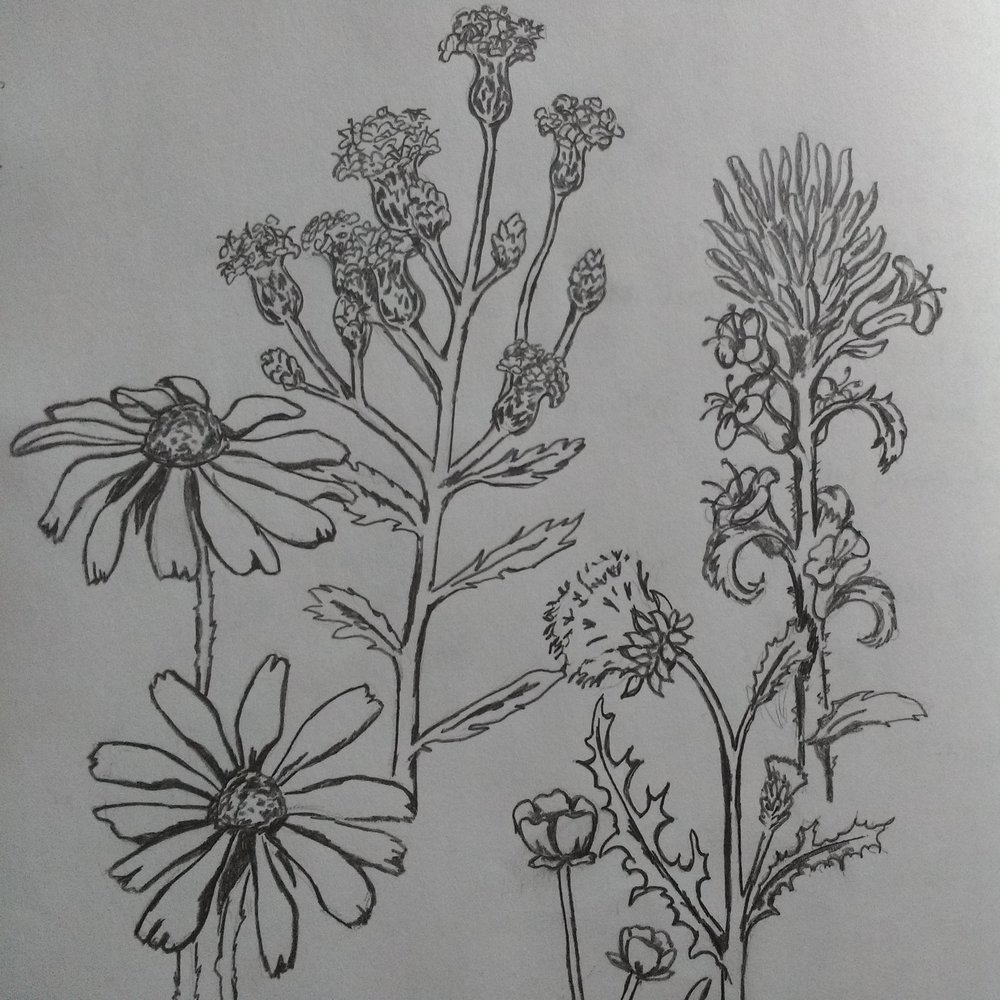 Carolyn_Byers_WildflowerSketch_DO_NOT_USE_WITHOUT_PERMISSION (8).jpg
