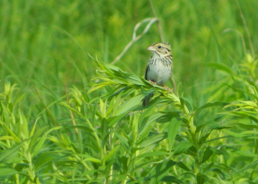 A Henslow's Sparrow sits on goldenrod