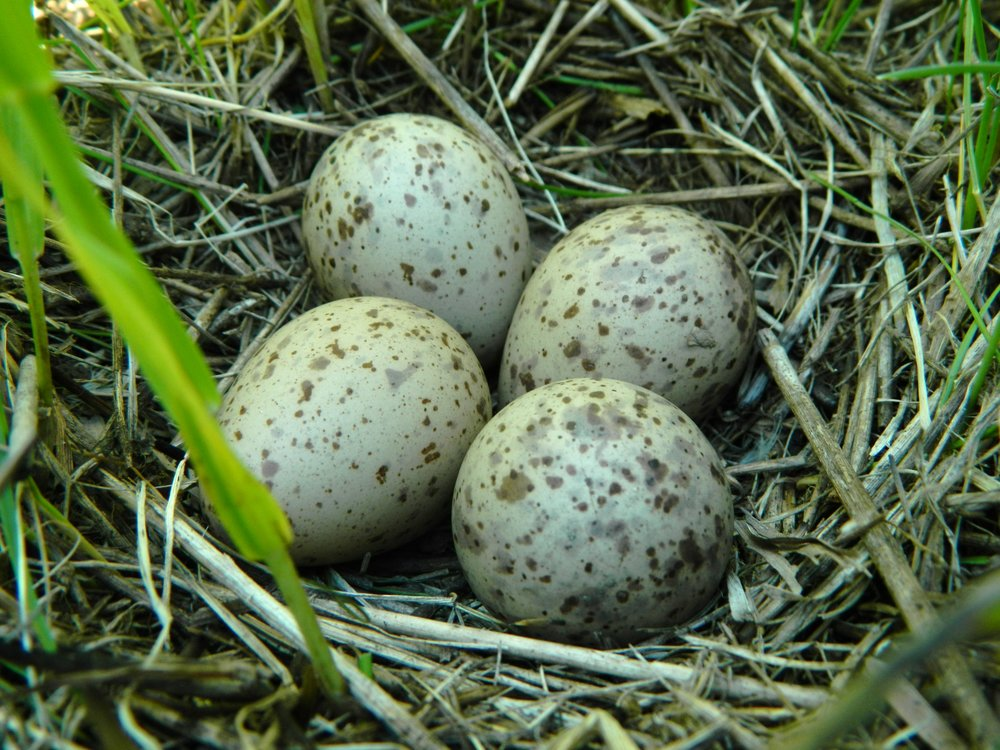 A perfect Upland Sandpiper nest.