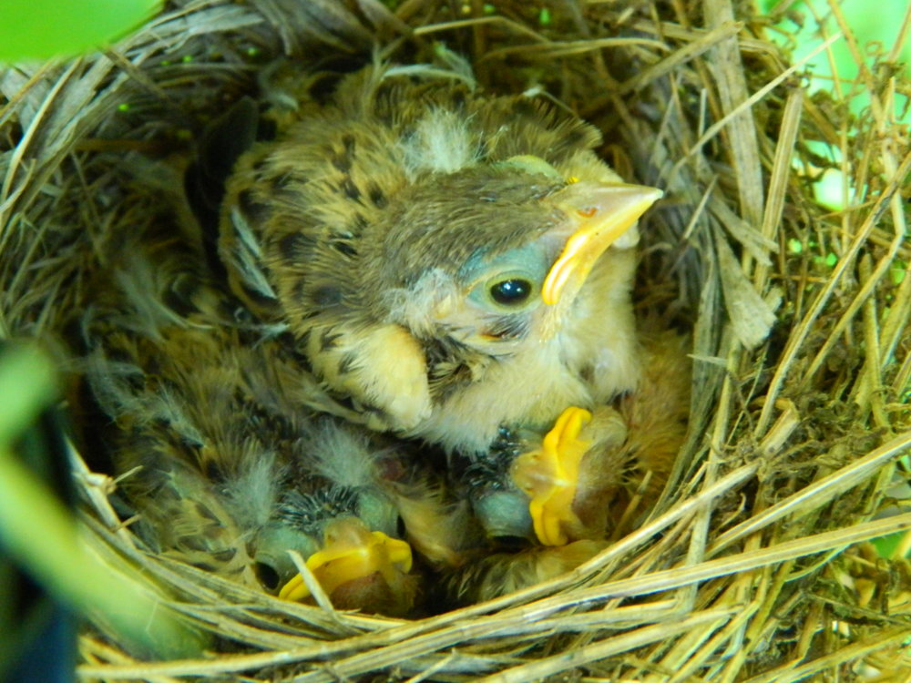 Dickcissel chicks, almost ready to fledge.