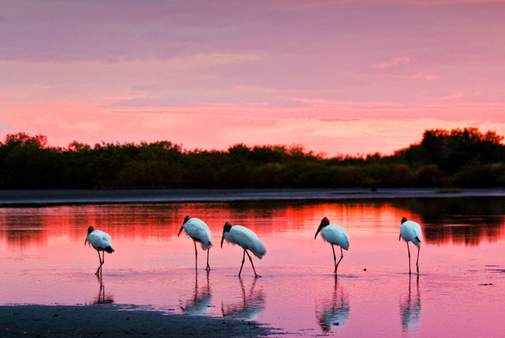 Wood Storks at Twilight
