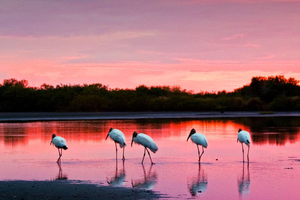 Wood Storks at Twilight