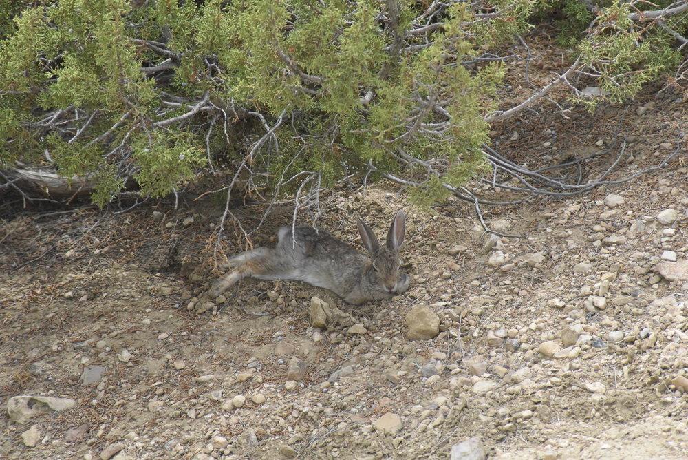 DSC_0760_Thu._7-28-2016_Wyoming, Suuwassea Site_Lepusaurus (Rabbit).JPG