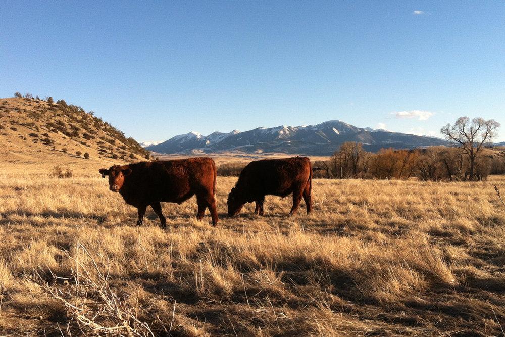 steers3.jpg