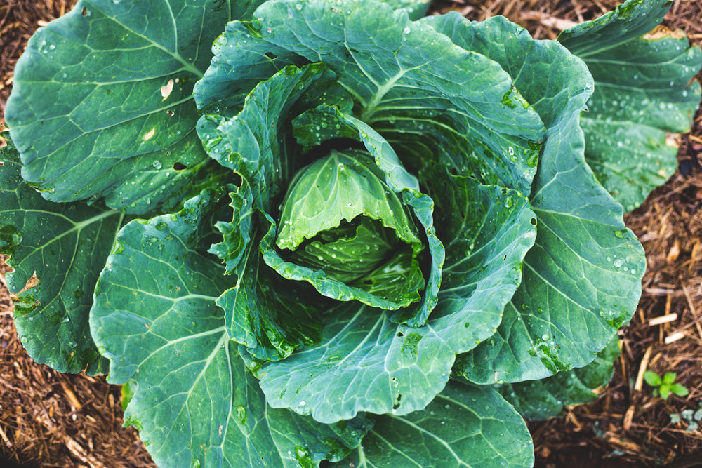 cabbage-mini.jpg