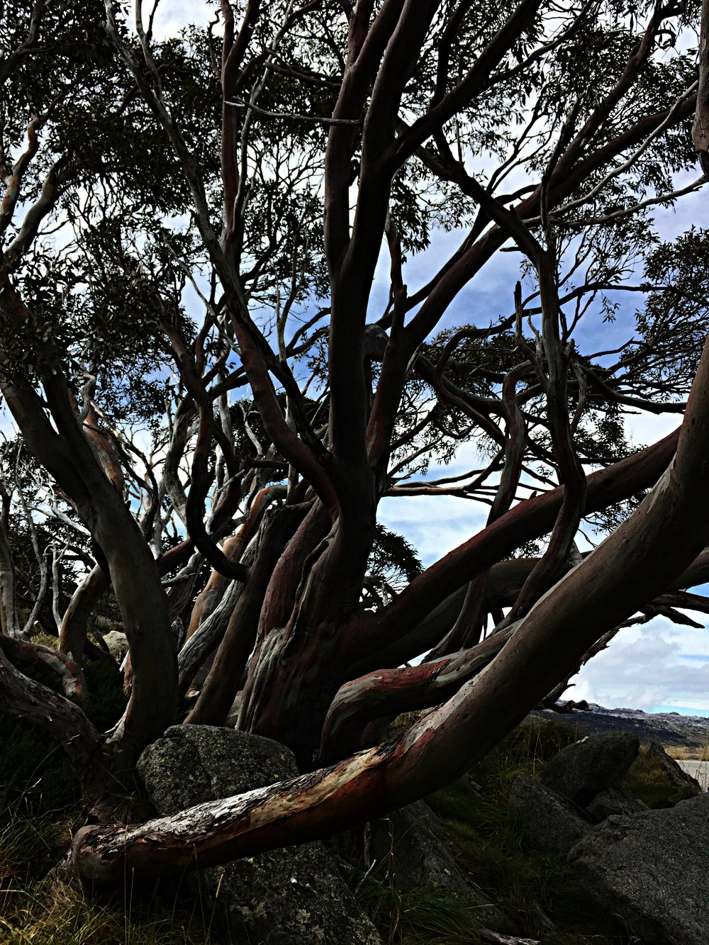 Glorious snow gums and scenery
