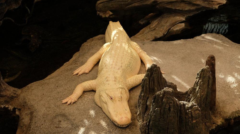 albino reptile.jpeg