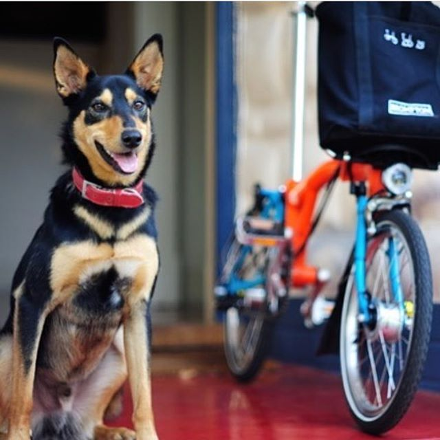 Charlie poses next to one of our hire bikes as @davidhumeart tackles the Rapha Festive 500 by  Brompton. Check out the link in the profile to follow this awesome adventure!  #raphafestive500 #bromptonbicycle #southaustralia #kelpie #treadlybikehire
