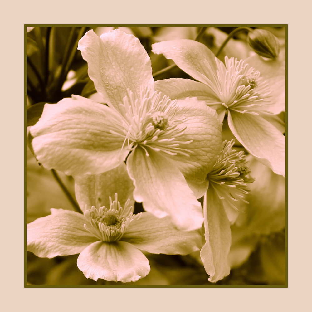 Clematis Spray