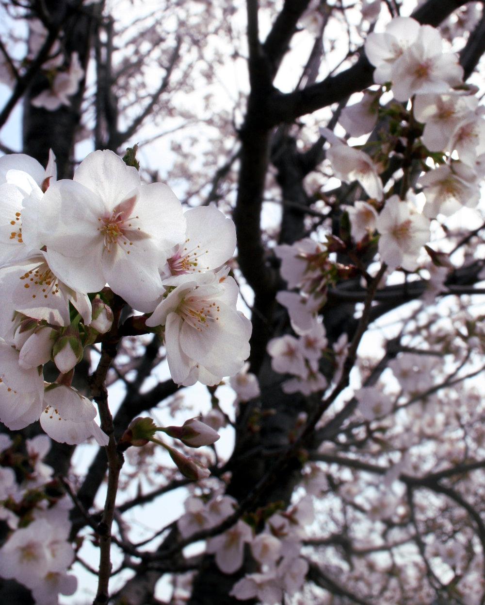 Yoshino Blossoms