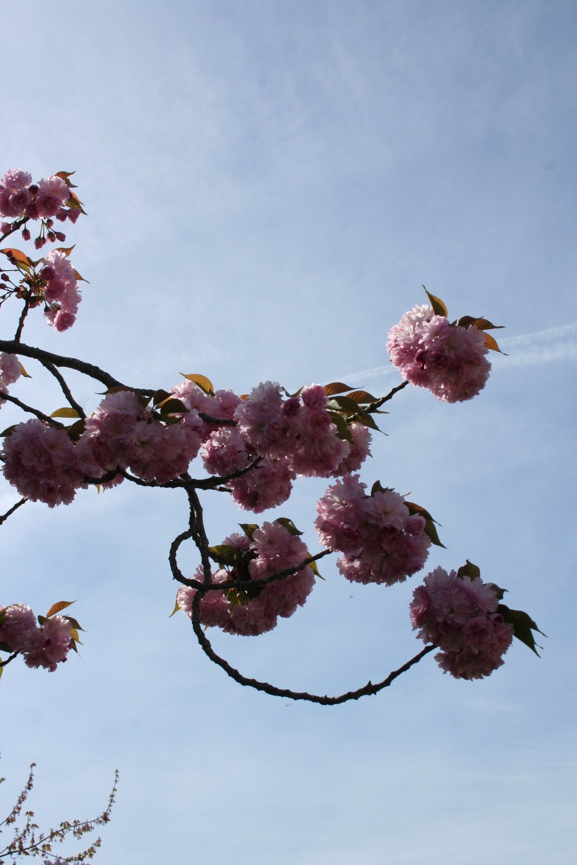 Kwanzan blossoms