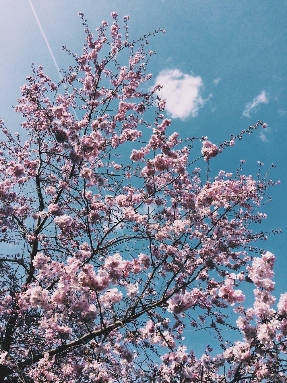 Kwanzan Blossom Tree