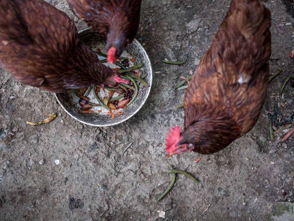 Chickens and Table Scraps, Bloomington, Indiana, 2018