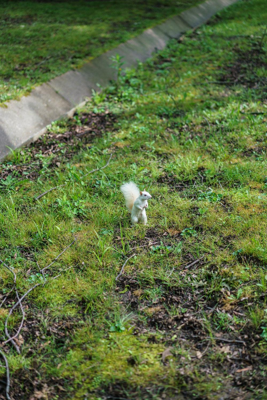 White Squirrel, Olney, Illinois, 2016