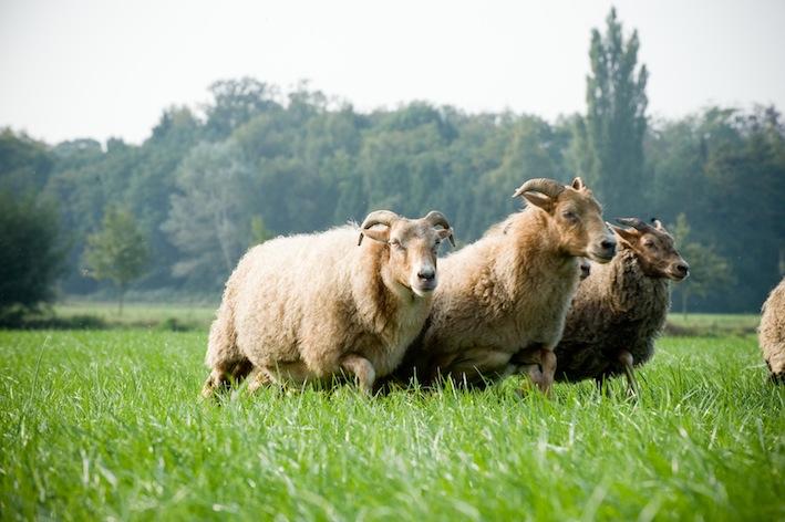 Teambuilding Schapendrijven. Workshop schapendrijven BuitenBusiness (33).._.jpg