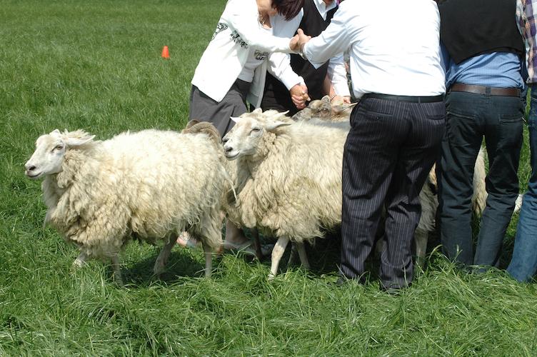 Teambuilding Schapendrijven. Workshop schapendrijven BuitenBusiness (32).._.jpg