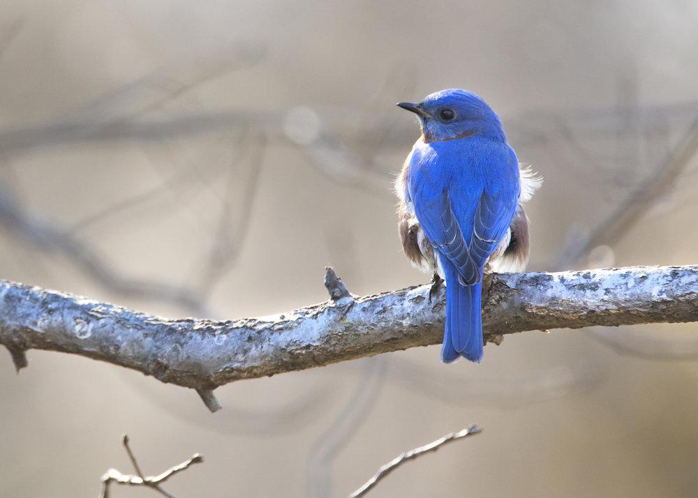5C0A1229_eastern bluebird.jpg