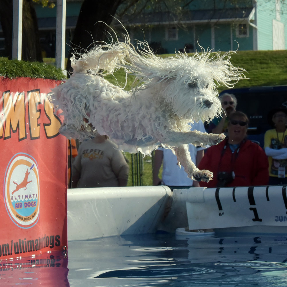 "His second jump was a little more, ""I'm doing this to get it over with!"" He was up, off and out (without his ball) before you could even blink! (His teacher, Beth, had a personal best with her pup, Gator. When you get a personal best…you also go into the pool! She concurred with Bruiser, the water is freaking cold!! It was like doing a polar bear plunge!)"