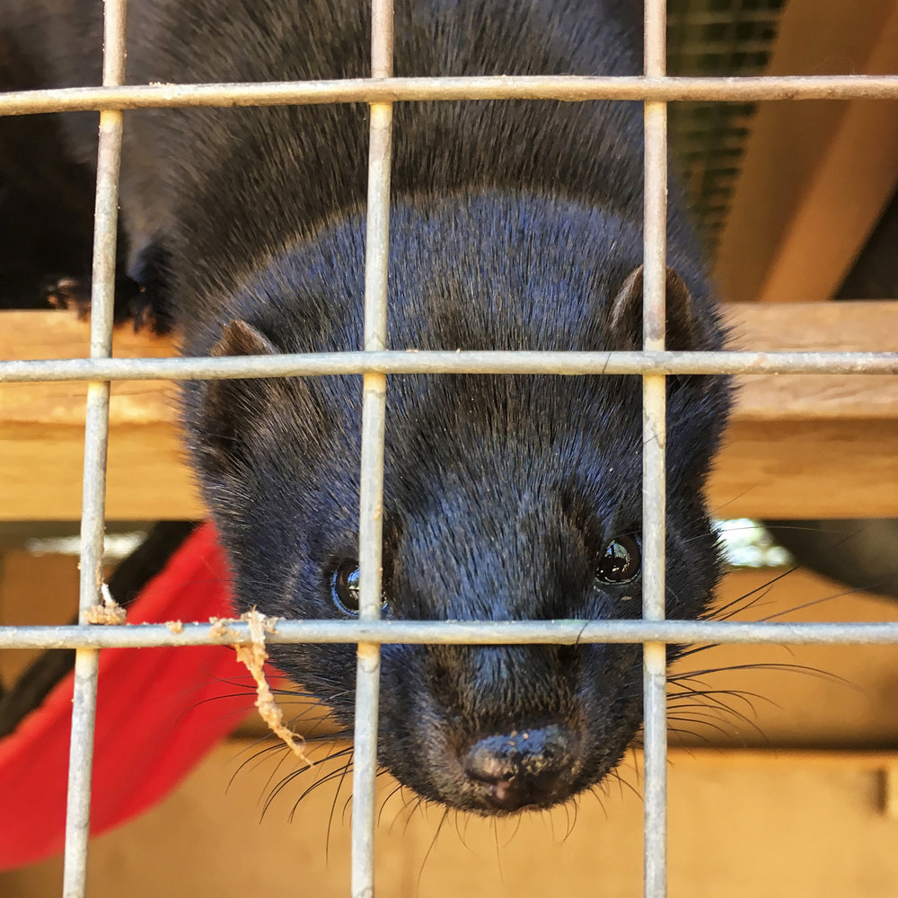 Believe it or not, there is such a thing as mink farming and breeding…for the fur. This lucky mink found his way off the farm and is now living the high life at Best Friends Sanctuary.