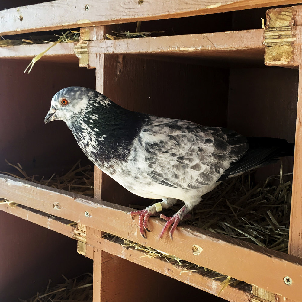 It's common for injured pigeons, doves and other birds to come to Wild Friends to be rehabilitated. If they can be, they will be released back into the wild. If their injury is too severe, and it would hinder their survival, then they will live out the rest of their life at the Best Friends Sanctuary.