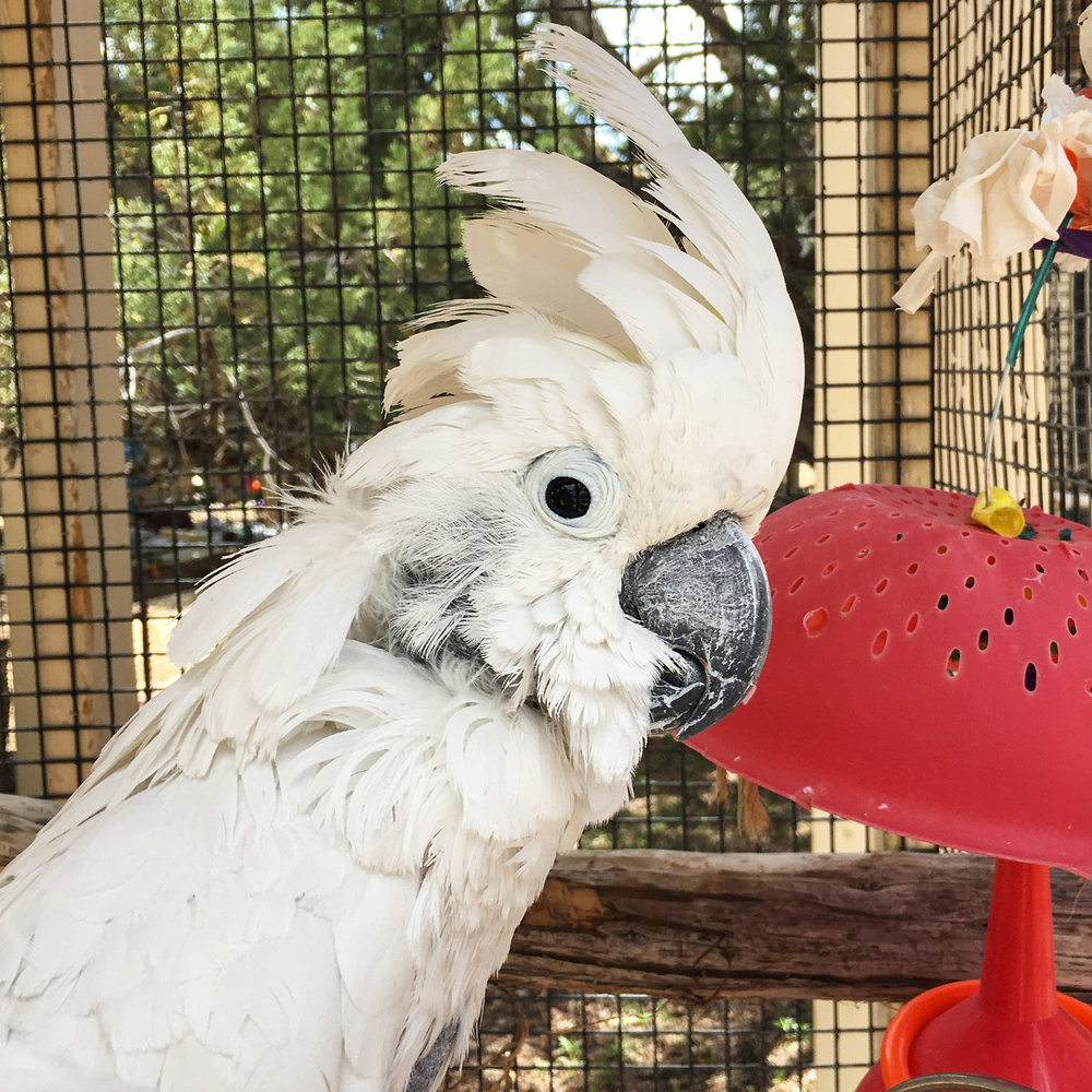 Mommy & Daddy spent some of their volunteer time giving showers…to keep the parrots cool in the heat of the day. Some of them loved the showers, and would dance and move…others tried to stay in the very back, hoping the mist of the spray wouldn't reach them.