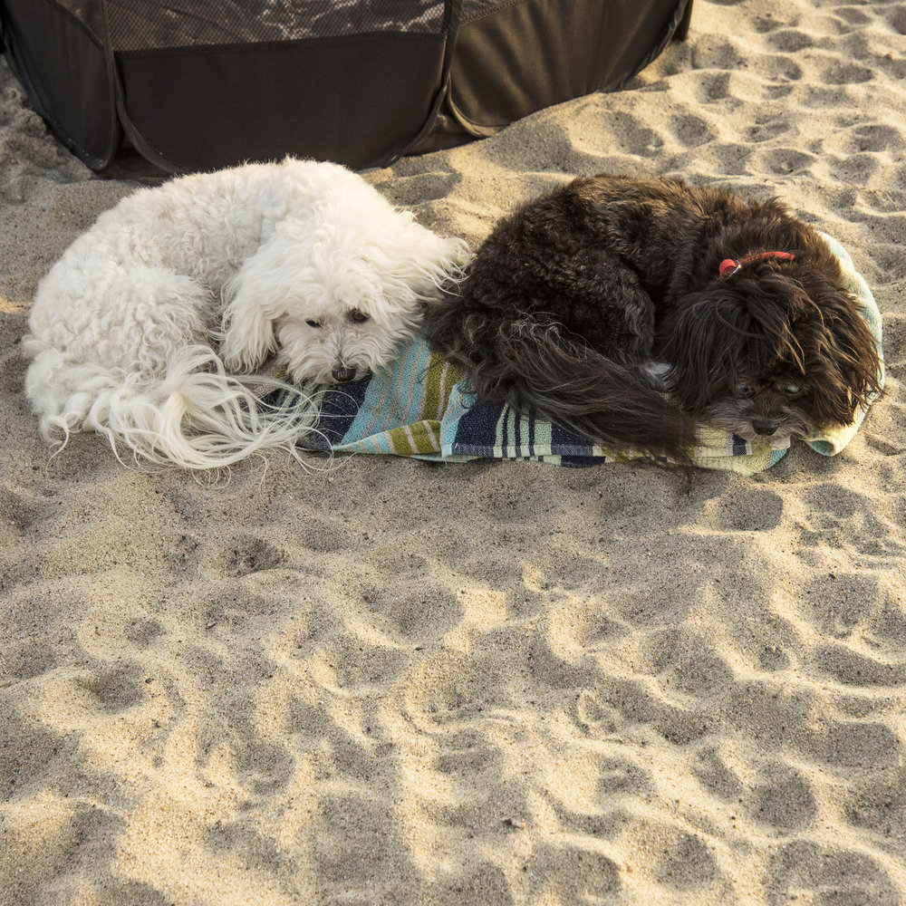 Beach time is exhausting!! (This is not staged. Benji found the towel all on his own, and curled up. Shortly later, Bruiser joined him with the exact same pose.)