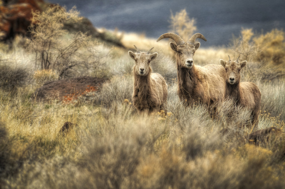 Big Horn Sheep on Abert Rim via BML on  Flickr
